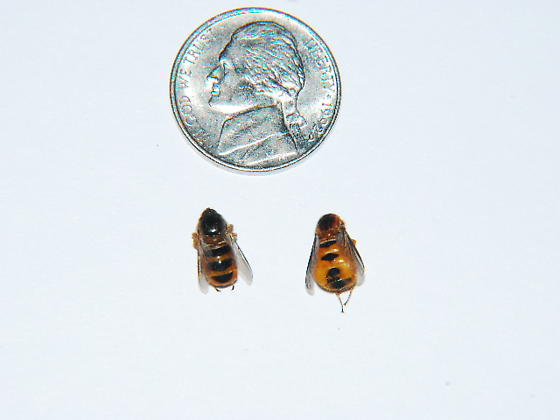 small headed fly - Ocnaea - male - female