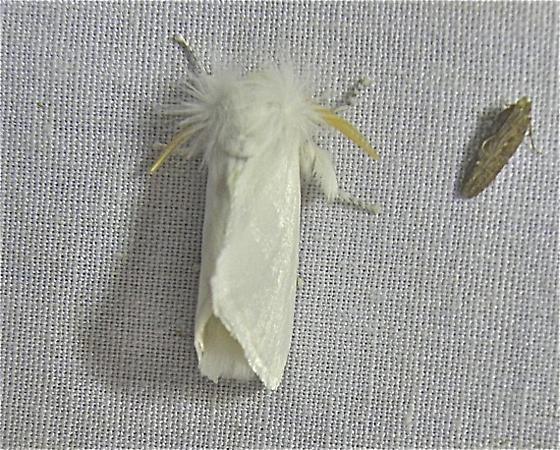White Moth - Norape ovina