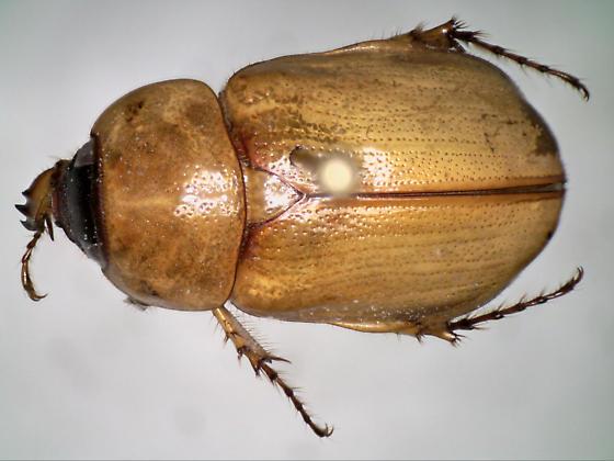 26Jul2017.NP.P.coleo2 - Cyclocephala