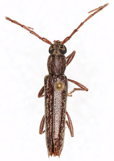 Anelaphus sp - Anelaphus parallelus