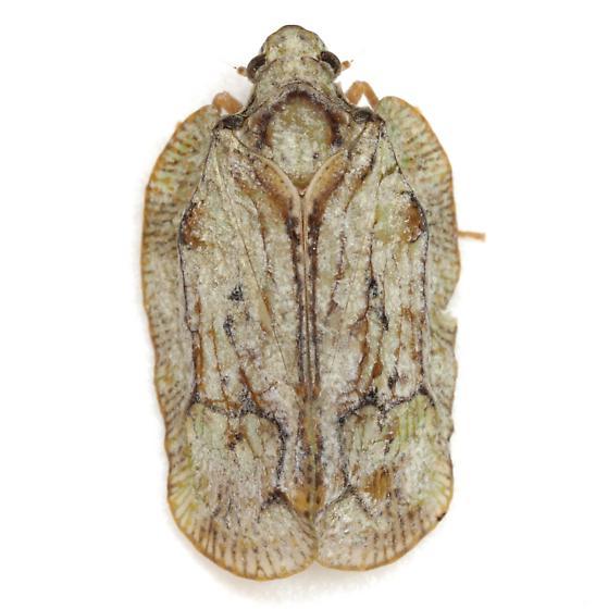 Flataloides scabrosus (Melichar) - Flataloides scabrosus