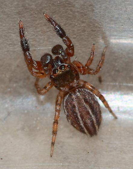 Jumping Spider - Marpissa lineata - male