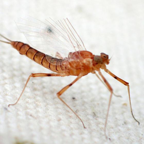 Cool orange mayfly
