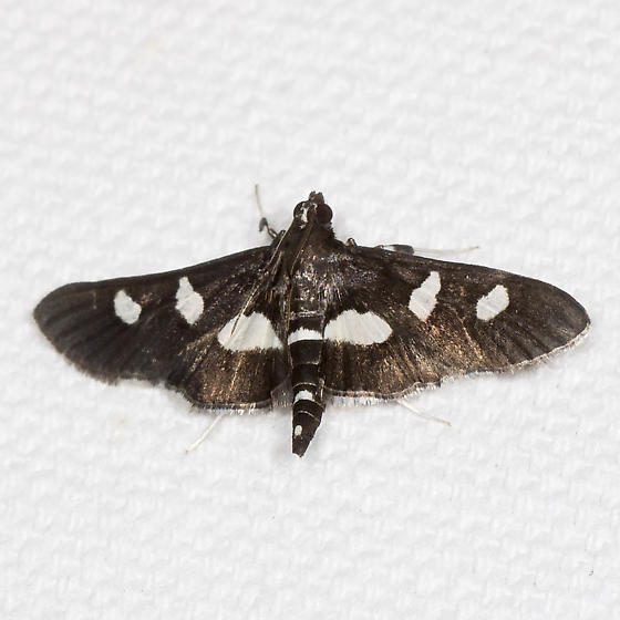 Grape Leafroller - Hodges#5160 - Desmia maculalis - male