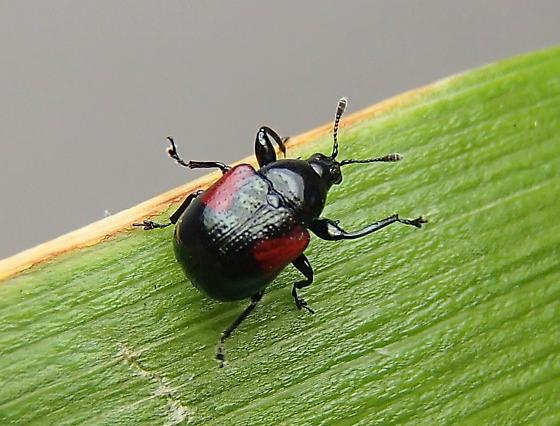 Synolabus - Synolabus bipustulatus
