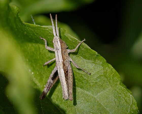 Slant-faced Grasshopper Nymph possibly a Chloealtis conspersa - Chloealtis conspersa