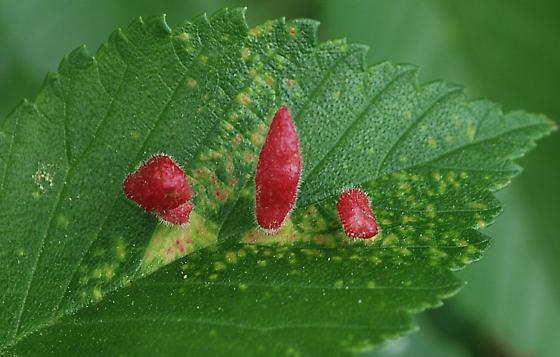 Slippery elm leaf galls - Tetraneura