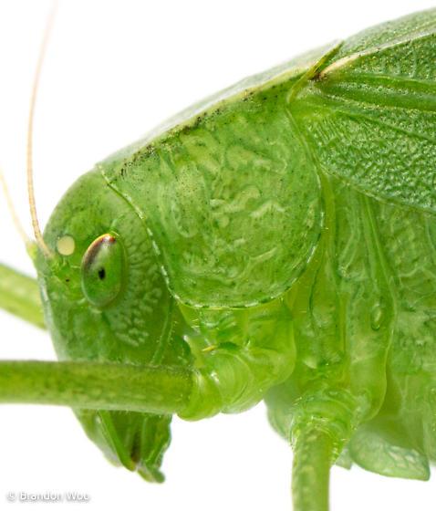 Amblycorypha oblongifolia - female