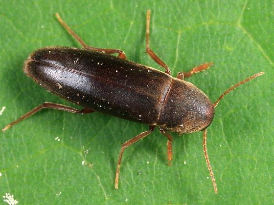Phloiotrya fusca? - Phloiotrya fusca