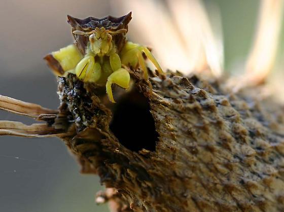 Portrait of an Ambush Bug - Phymata
