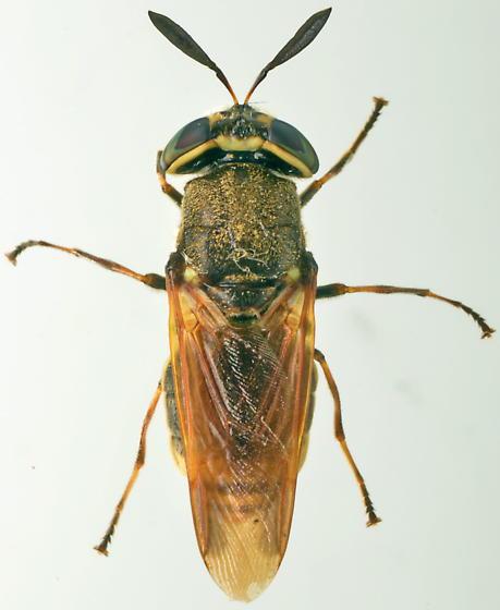 Hoplitimyia mutabilis - female