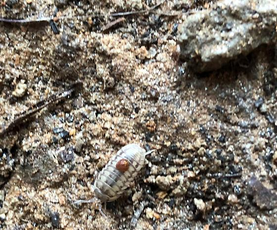 Roly polies: Isopoda: What family/ Genus??
