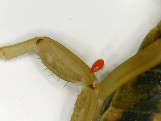 parasite found on striped bark scorpion