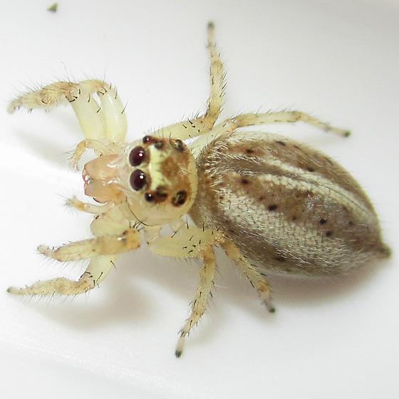 Colonus sylvanus - gravid female - Colonus sylvanus - female