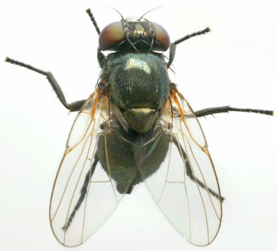 Small fly - female