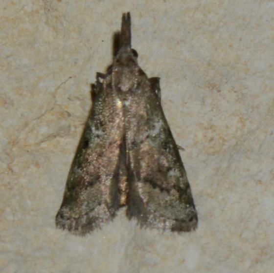 No.141 Alpheioides parvulalis or other? - Alpheioides parvulalis
