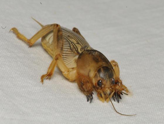 Alien bug - Neoscapteriscus vicinus