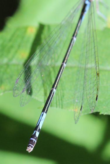 Azure Bluet - Enallagma aspersum - female