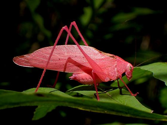 Pink oblong-winged katydid - Amblycorypha oblongifolia - female
