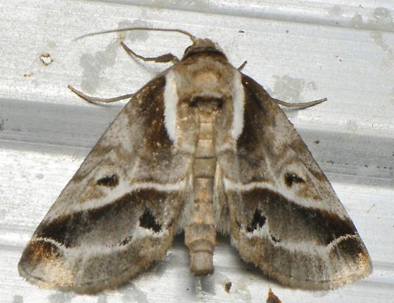 White lined moth - Baileya doubledayi