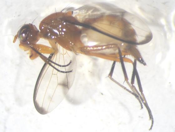 Odontomera limbata - female