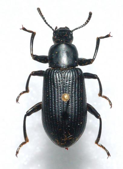 Darkling Beetle - Xylopinus saperdoides