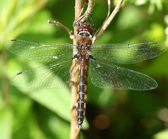 Common Baskettail - Epitheca cynosura