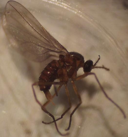 Cecidomyiidae from Red Oak (Q. rubra) - female