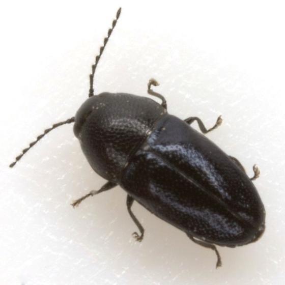 Trigonogya reticulaticollis (Schaeffer) - Trigonogya reticulaticollis