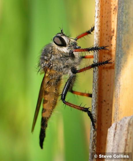 Promachus sackeni - female