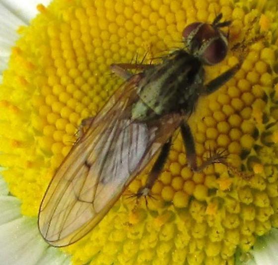 fly 1 - Scathophaga