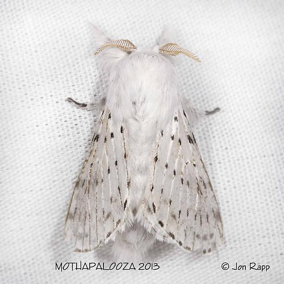 Dot-lined White Moth - Artace cribrarius - male