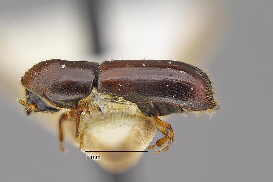 Gnathotrichus denticulatus