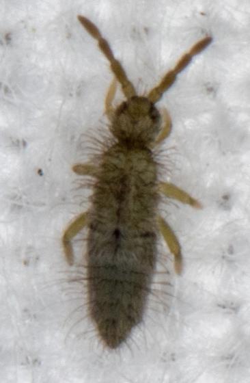 Green Collembola - Entomobrya unostrigata