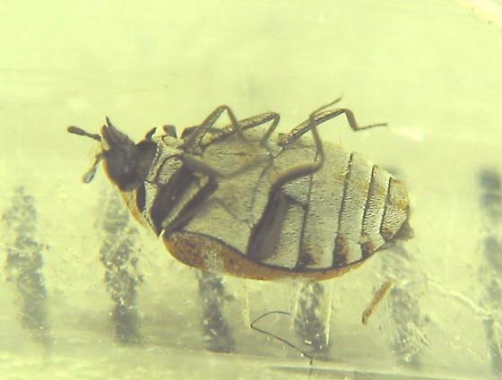 Tufted-tail dermestids grow up -- Ooops, wrong species :-) - Anthrenus verbasci