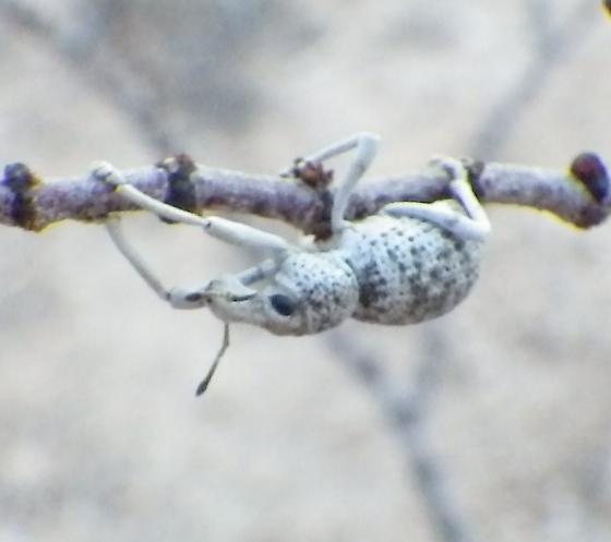Weevil ID request - Ophryastes