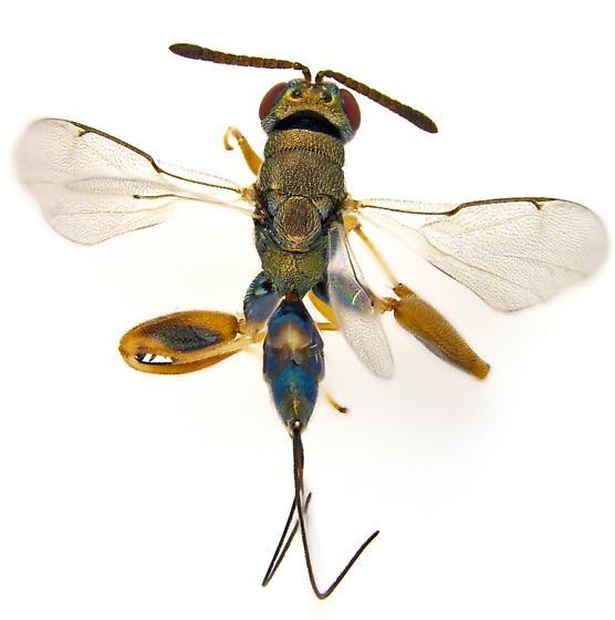 Podagrion? - Podagrion - female
