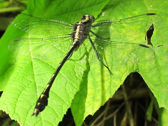 gomphid - Dromogomphus spinosus