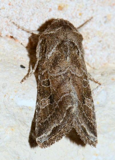 Please help us to identify this moth. - Lacinipolia erecta