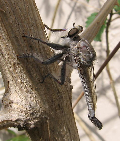 Robber Fly - Efferia tricella