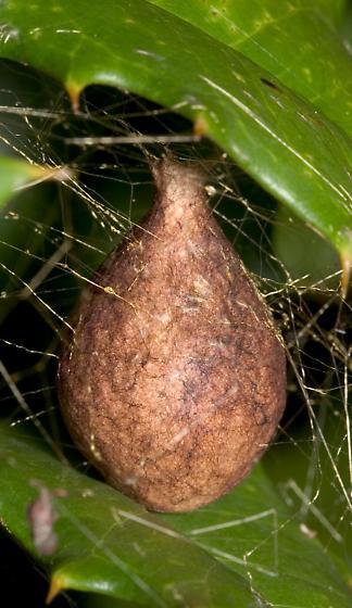 Argiope Egg Sac - Argiope aurantia
