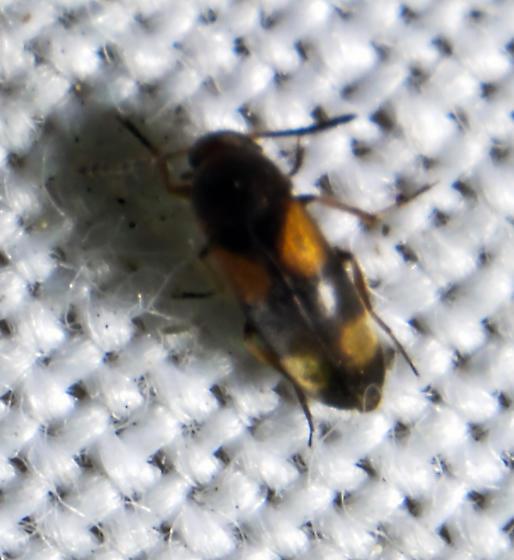 Mycetophagidae? - Pentaria trifasciata