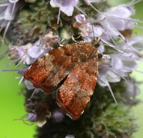 Moth ID - Choreutis pariana