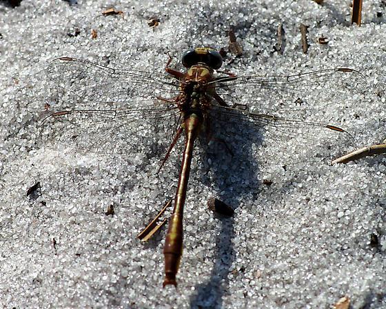 Russet-tipped Clubtail? - Phanogomphus cavillaris