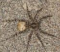 wolf spider with egg sac - Pardosa xerampelina - female
