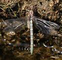 Teneral clubtail - Stylurus scudderi