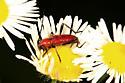 Longhorn Beetle - Batyle suturalis