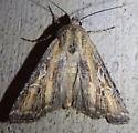 unknown noctuid - Euxoa pluralis