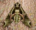 Sphingidae - Eumorpha pandorus