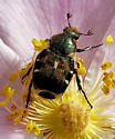 Unknown Beetle - Trichiotinus viridans